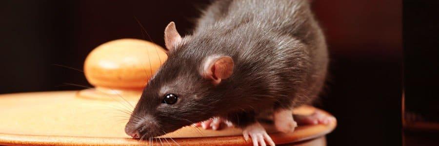 rat control dorset hampshire bournemouth poole christchurch wimborne wareham ferndown
