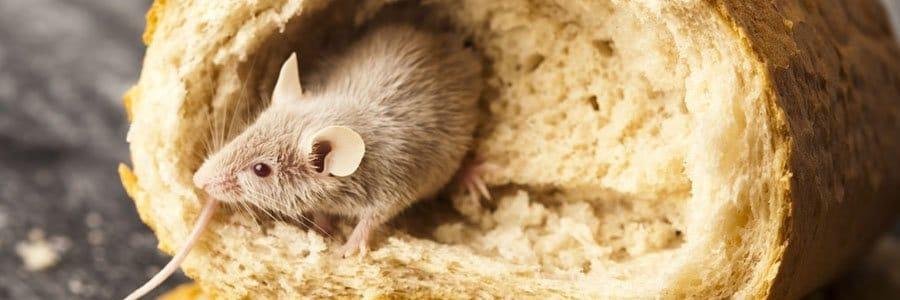 mice control dorset hampshire bournemouth poole christchurch wimborne wareham ferndown