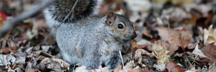 squirrel control dorset hampshire bournemouth poole christchurch wimborne wareham ferndown