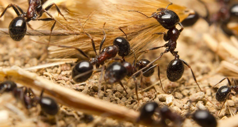 pest control ants dorset hampshire bournemouth poole christchurch wimborne wareham ferndown