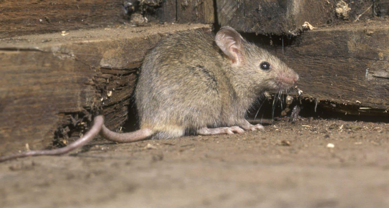pest control mice dorset hampshire bournemouth poole christchurch wimborne wareham ferndown