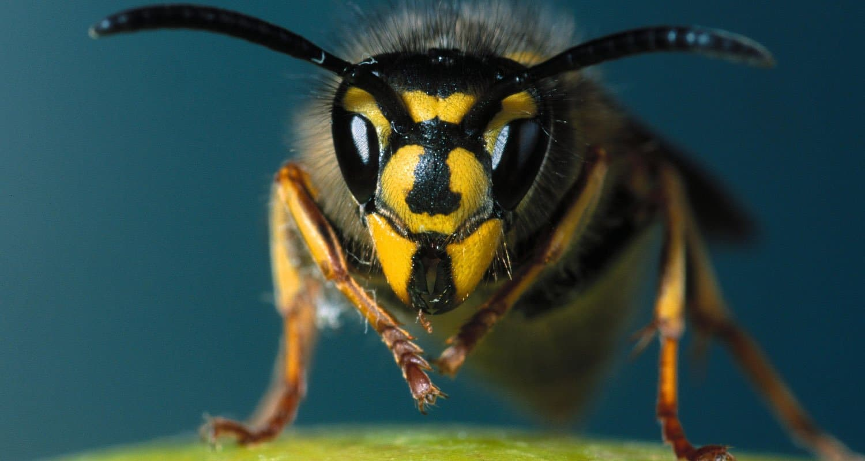 pest control wasps dorset hampshire bournemouth poole christchurch wimborne wareham ferndown